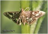 Crowned Phlyctaenia Phlyctaenia coronata #4953