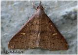 Speckled Renia Moth Renia adspergillus  #8386