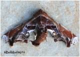 Beautiful Eutelia MothEutelia pulcherrima #8968
