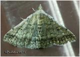 Florida Tetanolita  MothTetanolita floridana #8368
