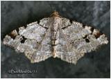 White Pine Angle Moth Macaria Pinistrobata  #6347