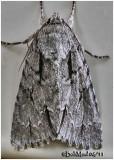 Speared Dagger Moth Acronicta hasta #9229