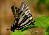 Zebra Swallowtail-Spring FormEurytides marcellus