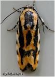 Common Spragueia  MothSpragueia leo   #9127