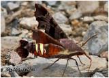 Nessus Sphinx Moth Amphion floridensis #7873