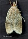 Black-fringed Psilocorsis Moth Psilocorsis cryptolechiella #0956