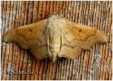 Scalloped Sack-bearer Moth-FemaleLacosoma chiridota #7659