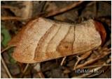 Contracted Datana MothDatana contracta #7906