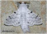 Dot-lined White MothArtace cribraria #7683