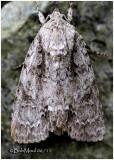 Ruddy Dagger Moth Acronicta rubricoma  #9199
