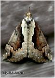 Baltimore Bomolocha MothHypena baltimoralis #8442