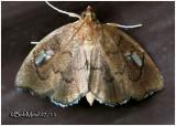 Titian Peale's Pyralid Moth  Perispasta caeculalis  #4951