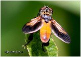 Feather-legged Fly-Female