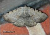 Moon-lined Moth Spiloloma lunilinea #8769