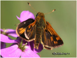Peck's Skipper-Male