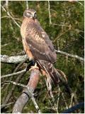 Northern Harrier-Female