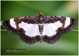 Common Spring Moth-Heliomata cycladata #6261