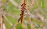 Spot-winged Glider-Female