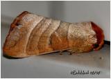Walnut Caterpillar MothDatana integerrima #7907