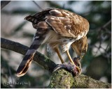 Sharp-shinned Hawk-Immature Female