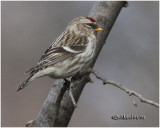 Common Redpoll-Female