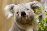 Dallas Zoo Koala Walkabout, March 2012