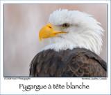 American Bald Eagle ...