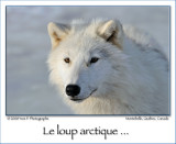 Artic Wolf ...