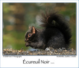 Black Squirrel ...