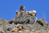 First Mountain Goat sighting
