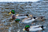 Mallards on the Crow River  ~  January 25  [9]
