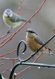 Kleiber / Eurasian Nuthatch and Blaumeise / Blue Tit