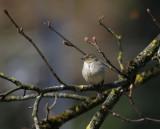 Buchfink Weibchen / Common Chaffinch female