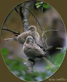 Türkentauben / Eurasian Collared Dove