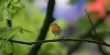 Rotkehlchen / European Robin
