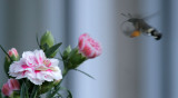 Taubenschwänzchen / hummingbird hawkmoth