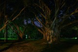 Banyan trees at night