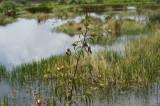 Swamp plant