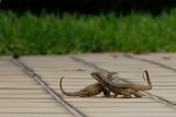 Northern curly-tailed lizards courting