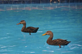 Ducks in my pool