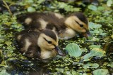 Mottled ducklings