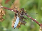 Bred trollslända - Broad-bodied Chaser (Libellula depressa)