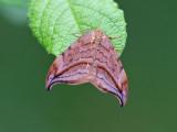 Brunaktig sikelvinge - Dusky Hook-tip (Drepana curvatula)