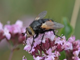 Tachina fera - Tachinid fly (Tachina fera)