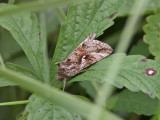 Gammafly - Silver Y moth (Autographa gamma)