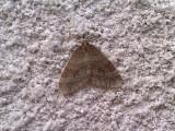 Allmän frostfjäril - Winter Moth (Operophtera brumata)
