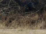 Bruntrast - Dusky Thrush (Turdus eunomus)