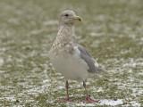 Gråvingad trut - Glaucous-winged Gull (Larus glaucescens)