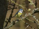 Blåmes - Blue Tit (Parus caeruleus)