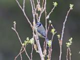 Blåmes - Blue Tit (Parus caeruleus cogliastrae)